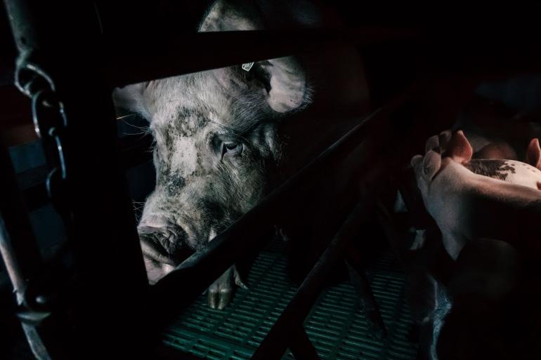 Pig mother