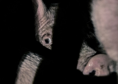 The Despair in These Pigs' Eyes Is Enough to Make Anyone Rethink Eating Bacon