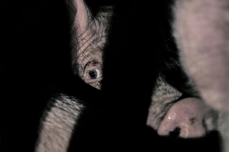 Sad pig face