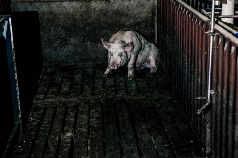 Single sick pig
