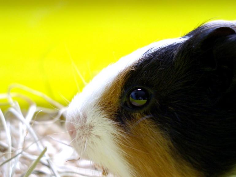 Stock guinea pig small