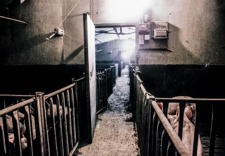 UK pig farm