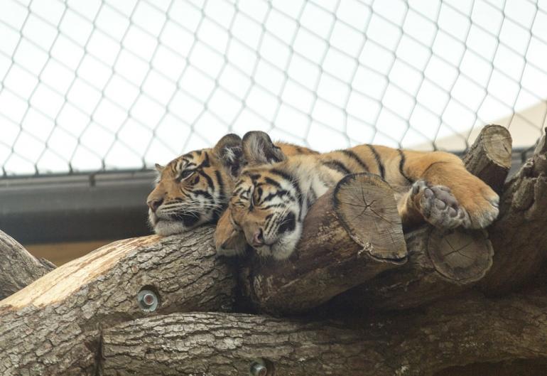 ZSL_London Zoo Sumatran_tiger