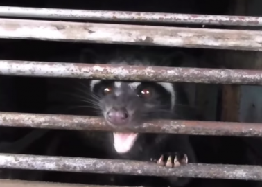 Cruel Civet Footage Axed From BBC After PETA Supporter Speaks Out