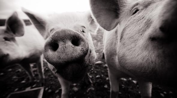McArthur Pigs