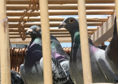 Thousands of Birds Will Likely Die in Deadly King's Cup Pigeon Race