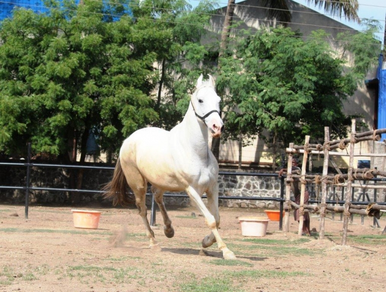 Rescued Horse Akshaya at Animal Rahat