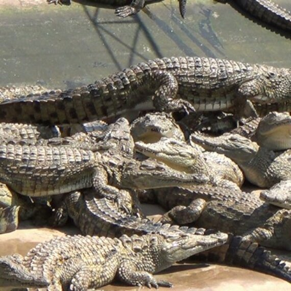 Ask Hermès to Stop Selling Items Made From Crocodile and Alligator Skins