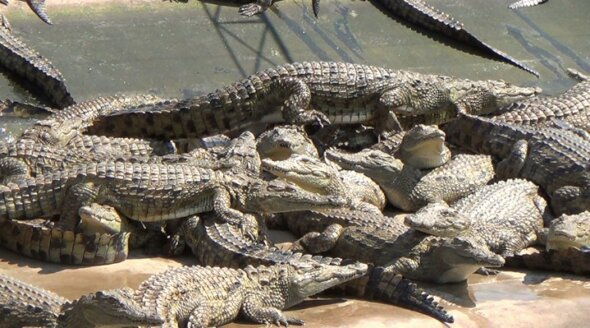 PETA reptile skins investigation Zimbabwe