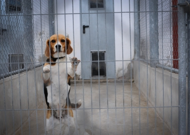 Government Lets Dogs Down, Approves New Beagle Breeding Facility in Yorkshire