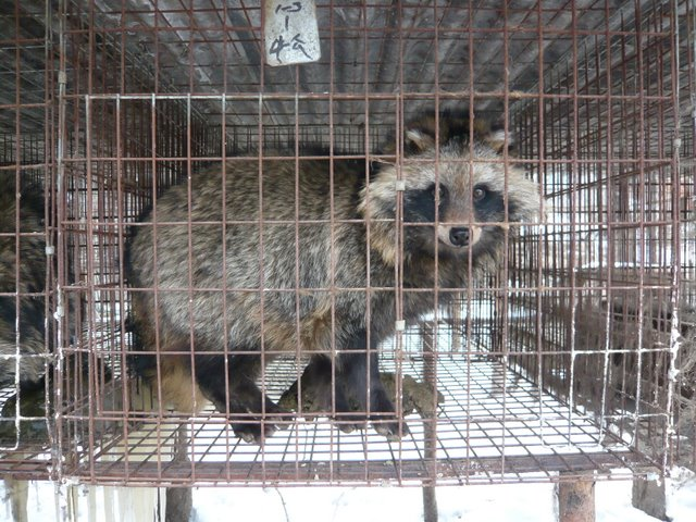 China Fur Investigation male raccoon dog