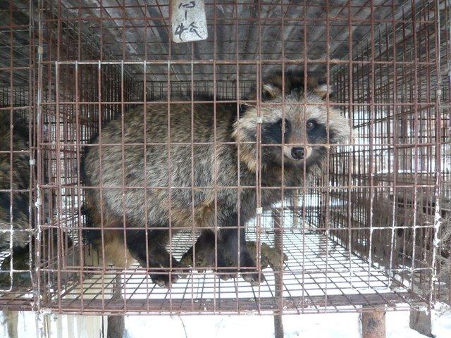 China Fur Investigation male raccoon dog