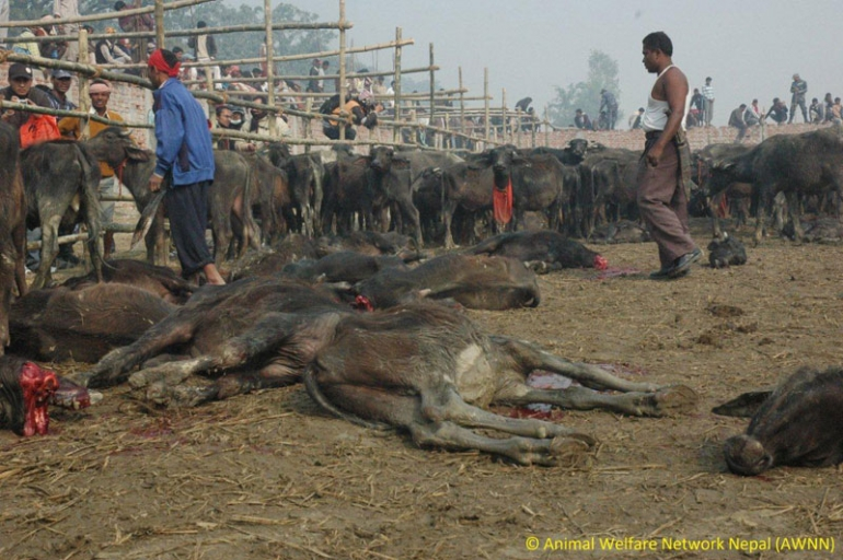 Gadhimai animal sacrifice