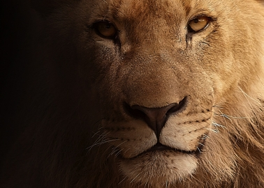 Son of Cecil the Lion Killed by Trophy Hunters in Zimbabwe