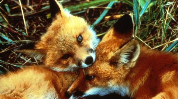 Two red fox cubs_crop
