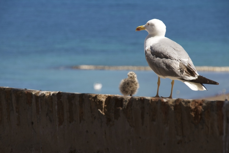 Seagull and chick