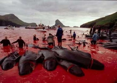 Scottish Town 'Untwins' With Faroe Islands Because of Whale Slaughter