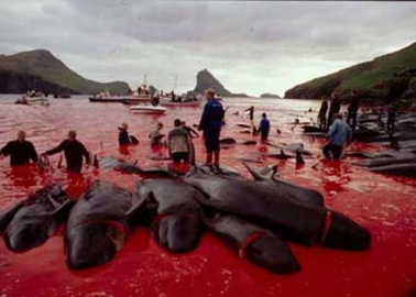 Gruesome Photos: Harbor Waters Run Red With Slaughtered Whales' Blood