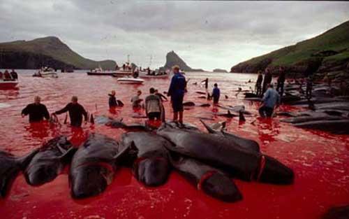 Faroe Whale Massacre