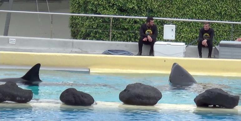 Loro Parque- ignored orcas 1