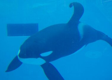 What Life Is Like for Orcas in Captivity