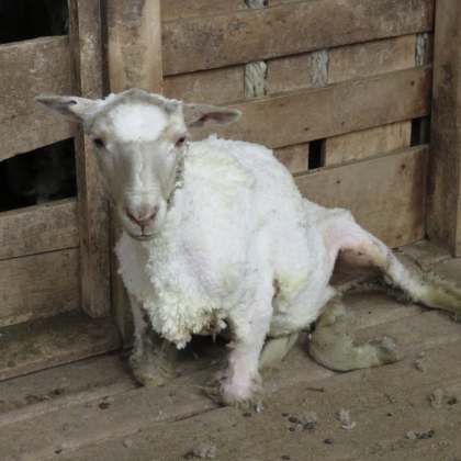 Exposed: Lambs Mutilated and Skinned Alive on Farms of Patagonia's 'Sustainable Wool' Supplier