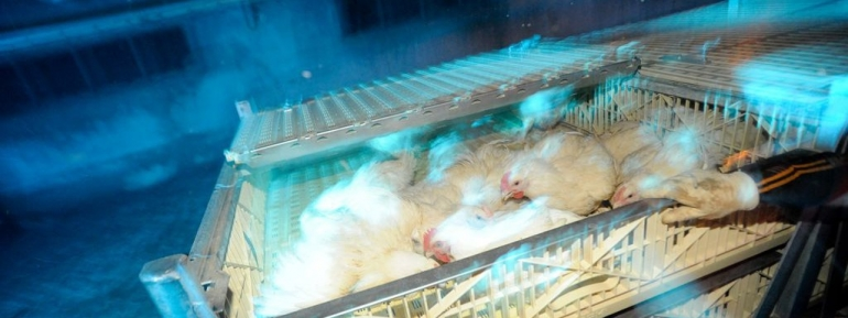 Chickens in crates for transport - banner