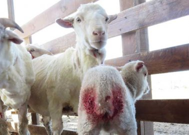 The Footage That Made This International Wool Supplier Cut Ties With a Farm It Had Trusted for Years