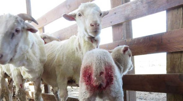 Argentina-Wool-Farm_Lamb-with-bleeding-tail-wound