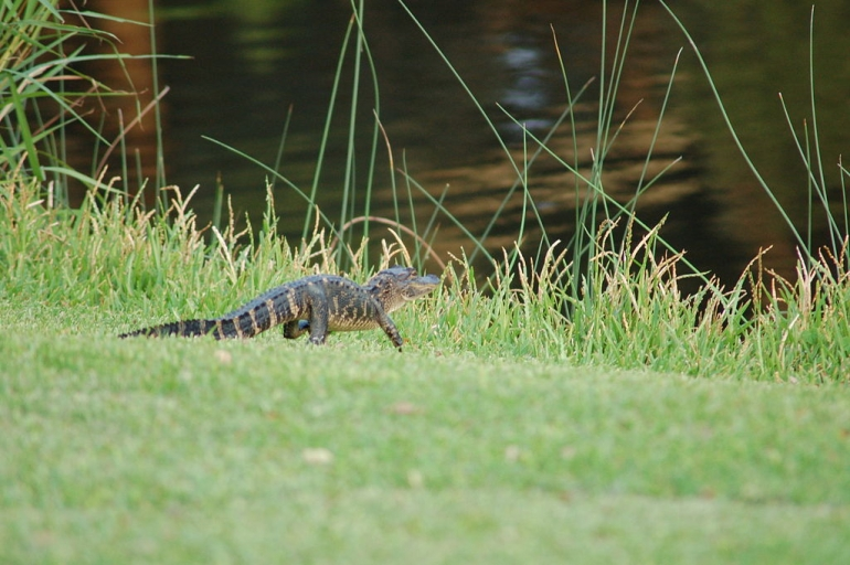Baby_alligator_(Kiawah_Island_Resort,_South_Carolina_-_August_27_2008)