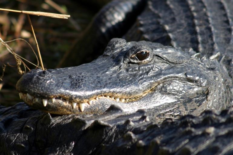 Everglades_Natl_Park_Alligator public domain