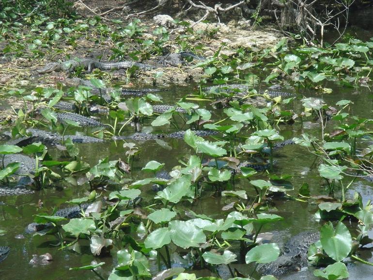 Many alligators_public domain