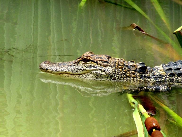 Serene alligator public domain