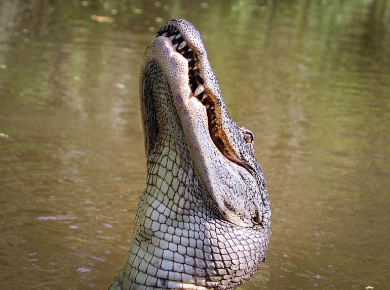 Single alligator CC0