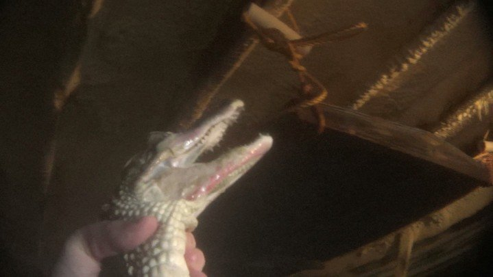 6. Alligators have raw skin on their jaws | Most alligators had raw skin around their jaws. Experts say that this painful condition may be a result of the farm's filthy, severely crowded conditions. | Lone Star Alligator Farms, Texas | Credit: PETA, 2014