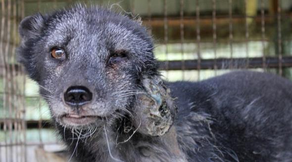 Fur injured fox (Oiueketta)