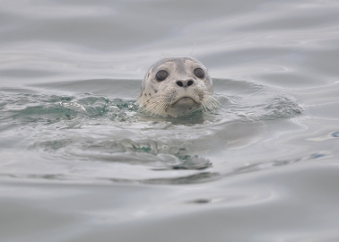 110 Seals Were Shot This Year to Protect the Unethical Salmon Industry