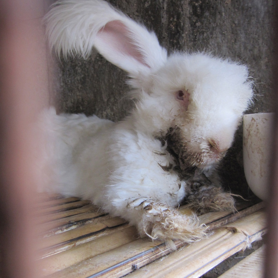 Of the farms PETA US visited, rabbits were not euthanised on site under any circumstances, no matter how sick or injured they were. Animals were left to languish for days, weeks or even months without relief or treatment before finally succumbing to death.
