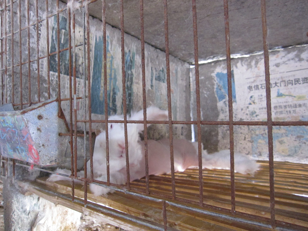 Rabbits who had been plucked bare lay motionless in their cages.