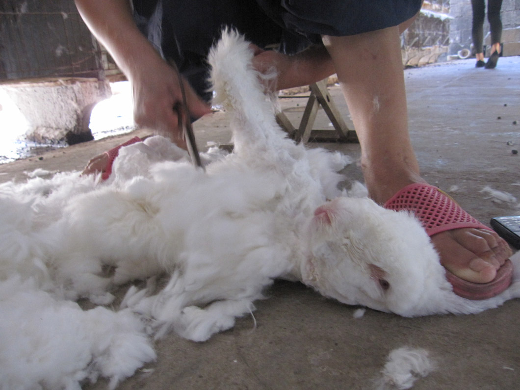 Rabbits were yanked out of cages by their sensitive ears and pinned under workers' feet while being violently sheared.