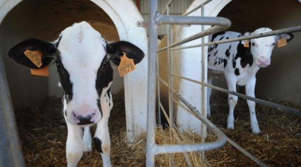 Jo-Anne McArthur Dairy Veal Farm