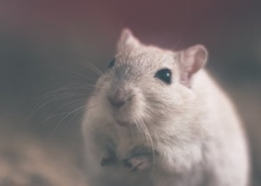 Swedish Nutrition Giant Stops Torturing Mice for Baby Food