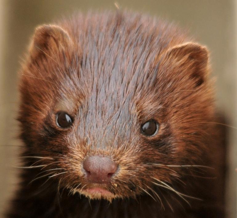 Image of mink
