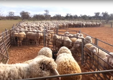 New Footage: Workers Kick, Stamp On and Mutilate Sheep on This Massive Australian Farm