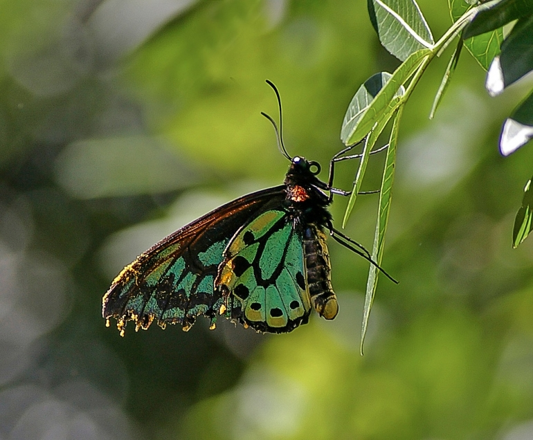 richmond-birdwing-butterfly-CC0