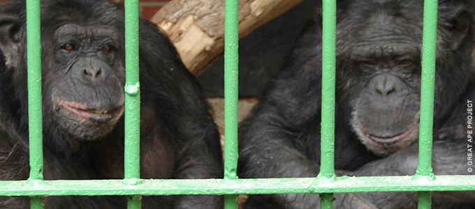 Chimps in cage