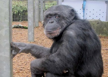 Rescued! Two Chimpanzees Swap Miserable German Zoo for Lovely Welsh Sanctuary