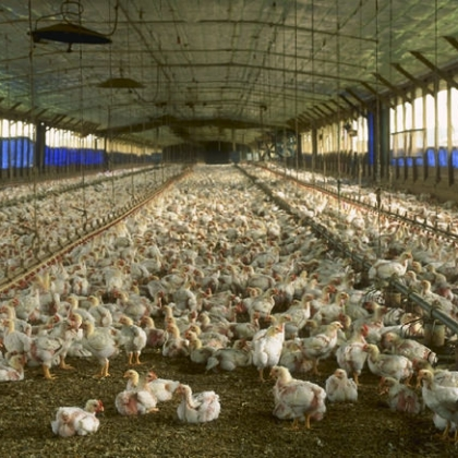 Help Stop Giant New Chicken Factory Farm Near York