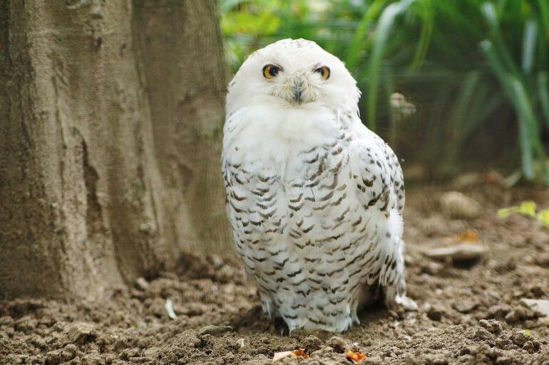 snowy-owl-CC0
