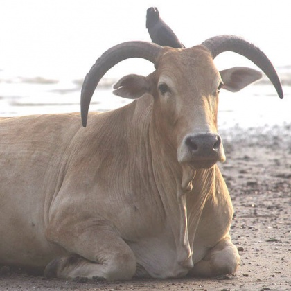 Urge India to Stop Allowing Jallikattu and Bull Races